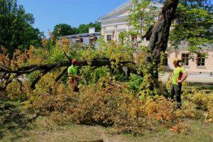 Žagariečiai gaivins šimtmečius skaičiuojantį medį