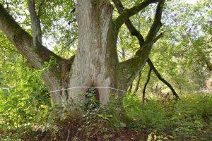 Tarp naujų saugomų gamtos objektų – ir ypatingi medžiai