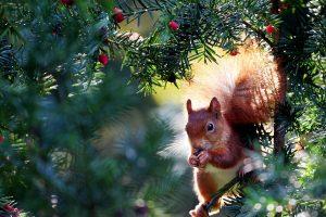 Gamtininkas: mes ne visada žinome, ko tikėtis iš voverių