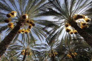 """""""Ferrero"""" gina palmių aliejų"""