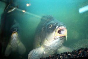 Skundai dėl parduodamų žuvų: jos irgi jaučia skausmą
