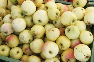 Iš rūgštaus obuolių derliaus – saldūs įmonės vaisiai