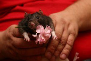 Žiurkiukas Mikis, buvęs aleksotiškės paguoda