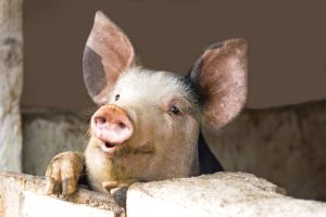 Afrikinis kiaulių maras plinta į vis naujas savivaldybes