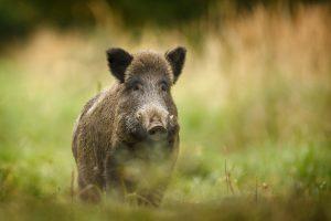 Kiaulių maras toliau guldo šernus