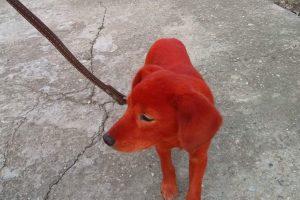 Bulgarijoje vandalai benamį šunį nudažė raudonai