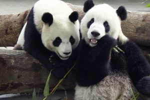 Gandai apie pandos mirtį sukėlė nerimą dėl Taivano ir Kinijos santykių