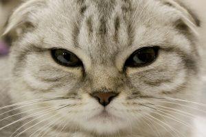 Škotų nulėpausės katės: ramios ir keliančios šypseną