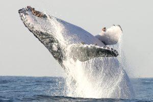 Japonija vėl medžios banginius