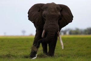 Indonezijoje dramblys mirtinai sutrypė veterinarę