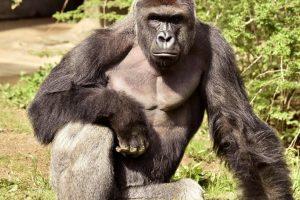 Po incidento JAV zoologijos sode kaltinimai dar nepateikti