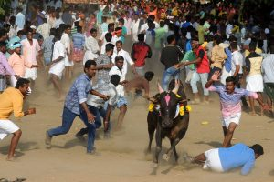 Indijoje imtynių su jaučiais festivalyje mirtinai subadyti du žmonės