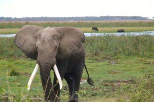 Kenijoje dramblys mirtinai sutrypė rančos šeimininką