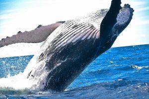 Kodėl banginiai tokie milžiniški?