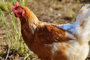 Vokietijoje – paukščių gripo protrūkis