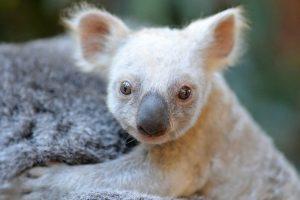 Australijos zoologijos sode pasaulį išvydo baltas koalos jauniklis