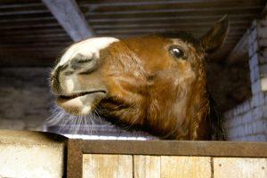 Ilgapirščių taikiniais tapo ganyklose laikomi arkliai