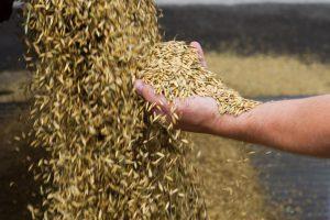 Lietuvos grūdų eksportuotojams užsidarė Indijos rinka