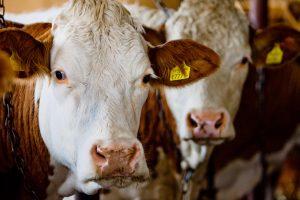 Ūkininkus pasieks valstybės parama už gyvulius
