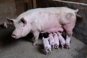 Ketveri kiaulių maro metai: ar matyti pabaiga?