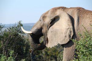 Bangladeše laukiniai drambliai sutrypė du rohinjų pabėgėlius