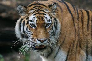 Rusijoje pasaulį išvydo retas liūto ir tigrės hibridas