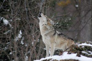 Siūloma didinti vilkų sumedžiojimo limitą tam tikrose savivaldybėse