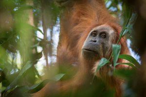 Mokslininkai: neseniai atrasta orangutanų rūšis yra labiausiai nykstanti pasaulyje