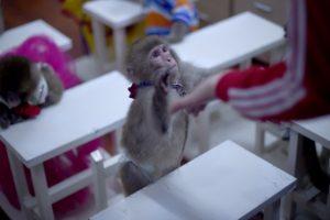 Kinijos mokslininkų eksperimentas: beždžiones susargdino autizmu