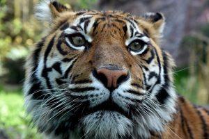 Floridoje tigras mirtinai sukandžiojo savo prižiūrėtoją zoologijos sode