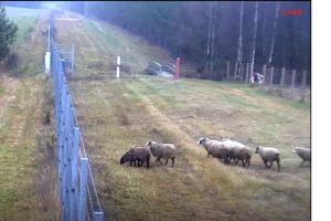 Švenčionių rajone avys pabėgo į Baltarusiją