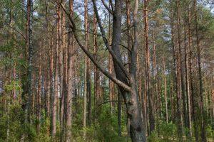 Miške rasta beveik 4 tūkst. litrų raugo