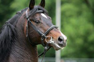 18 arklių laikantį ir neprižiūrintį ūkininką norima nubausti už žiaurų elgesį