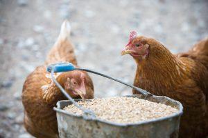 Paaiškino, kaip laikomos vištos, kurių kiaušinius vartoja lietuviai