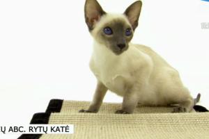 """Rytų katė – išskirtinai """"žodinga"""" katė"""