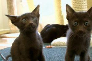 Katė, kurios ūsams taikomi spalvos reikalavimai