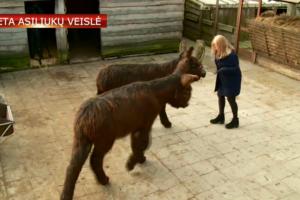 Lietuvoje – dar nematyta asilų veislė