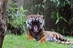 Indijoje nušautas tigras žmogėdra