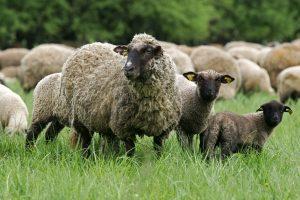 Neringos gyventojams siūlys įsigyti avis ir ožkas