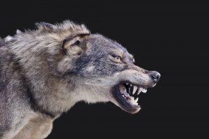 Vilkų daroma žala verčia peržiūrėti jų skaičių
