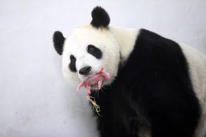 Belgijoje Kinijos paskolinta panda atsivedė jauniklį