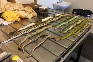 Šliaužiojantis krovinys batų dėžėse pašiurpino australus