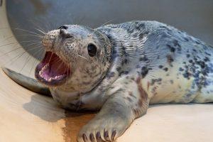 Jūrų muziejuje – rekordinis gydomų ruoniukų skaičius