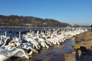 Žiemojantys paukščiai sulesė 6 tonas grūdų