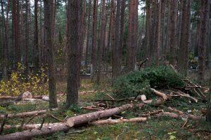 Kodėl už Petrašiūnų kapinių tvoros dešimtimis pjaunami medžiai?