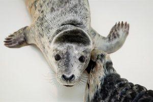 Lietuvos jūrų muziejuje – rekordinis skaičius ruonių jauniklių