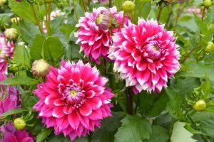 Kauno botanikos sodą nuspalvino jurginai