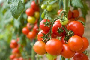 Pomidorų derlių garantuoja unikalios pagalbininkės