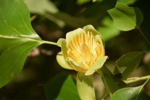 Tikrąją vasaros pradžią Botanikos sode skelbia pražydę tulpmedžiai