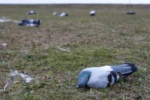 Apokaliptinis vaizdas prie Šilainių turgaus: kas išnuodijo paukščius?